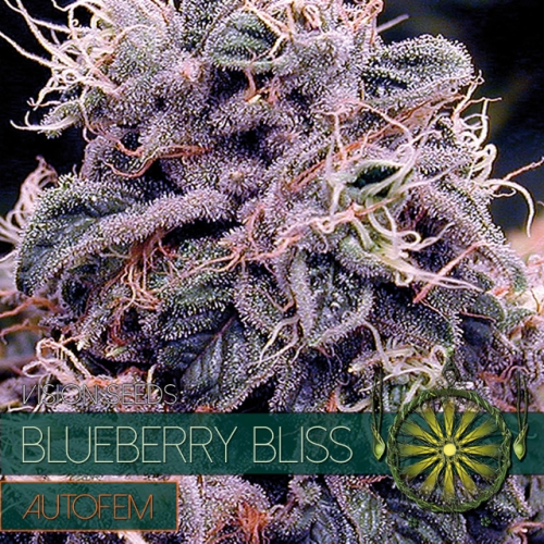 autofem-vision-seeds-blueberry-bliss-500×500